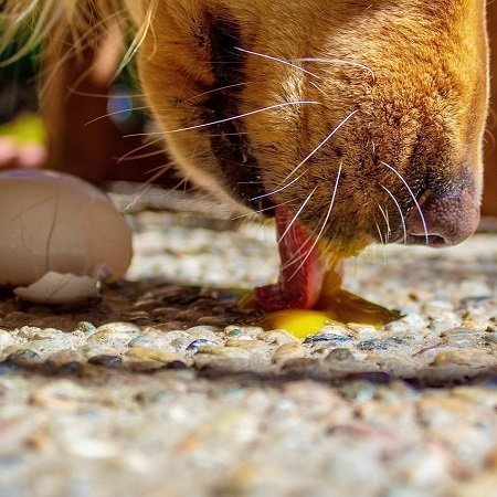 dog eats raw egg