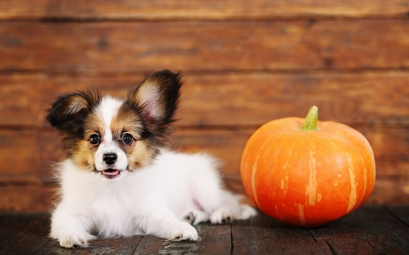 best canned pumpkin for dogs